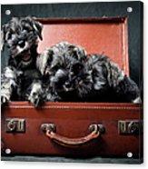Three Miniature Schnauzer Puppies In Acrylic Print