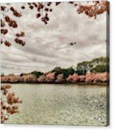 Tidal Basin Blossoms Acrylic Print