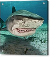 Tiger Sharks Galeocerdo Cuvier Are Acrylic Print