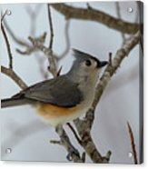 Titmouse Winter Morning Cutie  Acrylic Print