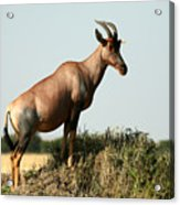 Topi  Standing In The Grasslands Of The Acrylic Print