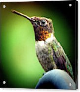Totem Animal Book Hummingbird Acrylic Print