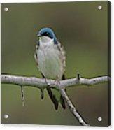 Tree Swallow Acrylic Print