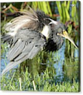 Tricolored Heron With Ruffled Feathers Acrylic Print