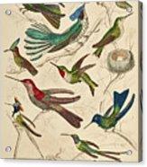 Trochilus - Hummingbirds Acrylic Print