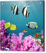 Tropical Reef Fish Over Soft Corals Acrylic Print