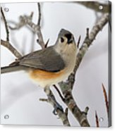 Tufted Titmouse Winter Tranquility Acrylic Print