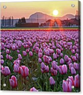 Tulip Field At Sunset Acrylic Print