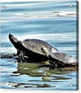 Turtles - Mother And Child Acrylic Print