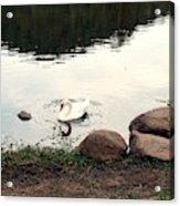 Twilight Swan Acrylic Print