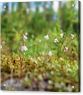 Twinflower Forest Acrylic Print