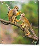 Two Common Squirrel Monkeys Saimiri Acrylic Print