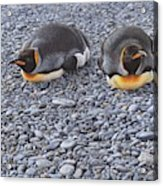 Two King Penguins By Alan M Hunt Acrylic Print