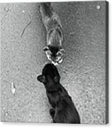 Two Kittens Which Kiss Acrylic Print