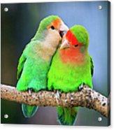 Two Peace-faced Lovebird Acrylic Print