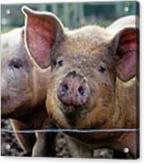 Two Pigs On  Farm Acrylic Print