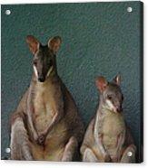 Two Sitting Wallabies Acrylic Print