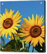 Two Sunflowers Acrylic Print