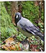 Under The Oak Tree. Hooded Crow Acrylic Print
