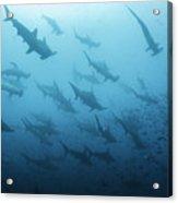 Underwater View Of Scalloped Hammerhead Acrylic Print