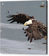 Valdez Eagle One Acrylic Print