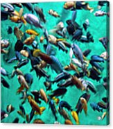Various Multi-colored African Fish Acrylic Print