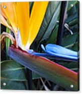 Vibrant Bird Of Paradise #2 Acrylic Print