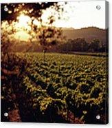 Vineyard, Napa Valley, California, Usa Acrylic Print
