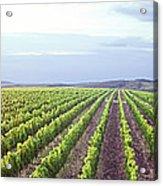 Vineyard Panorama Sunrise Acrylic Print