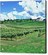 Vineyard, Whangarei, Northland, New Acrylic Print
