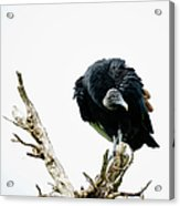 Vulture Perched On Tree Acrylic Print