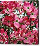 Washington State Magnolia Acrylic Print