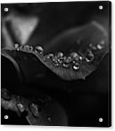 Water Droplets On A Rose Acrylic Print