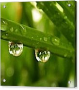 Water Drops On Wheat Leafs Acrylic Print