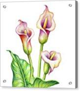 Watercolor Illustration, Calla Lillies Acrylic Print