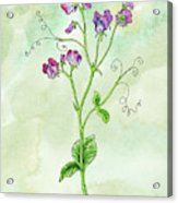 Watercolor Sweet Pea Flower Botanical Acrylic Print