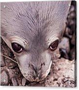 Weddell Seal Pup, Antarctica Acrylic Print