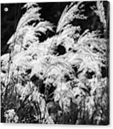 Weed Grass Black And White Acrylic Print