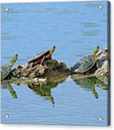 Western Painted Turtles Acrylic Print