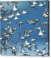 Western Sandpipers Calidris Mauri Acrylic Print