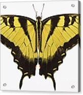 Western Tiger Swallowtail Butterfly Acrylic Print