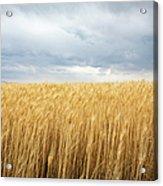 Wheat Field Under Dark Clouds Acrylic Print