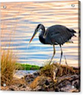 Wheeler Oregon - Great Blue Heron Acrylic Print
