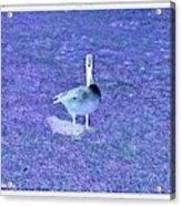 Where's Mine - The Blue Goose Acrylic Print