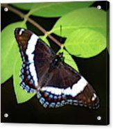 White Admiral Butterfly Acrylic Print