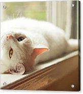 White Cat Relaxing In Windowsill Acrylic Print