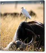 White Cattle Egret Hitching A Ride On Acrylic Print