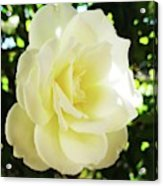 White Rose Petals 2  Acrylic Print