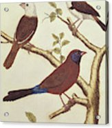 White Headed Munia, Double Coloured Seed Eater And Violet Eared Waxbill Acrylic Print