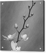 White Orchid Buds Acrylic Print
